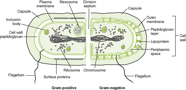 Bacterial structure clinical gate 6 2 gram positive and gram negative bacteria internal structures and the plasma membrane are similar in all bacteria but the cell wall is more complex in ccuart Images