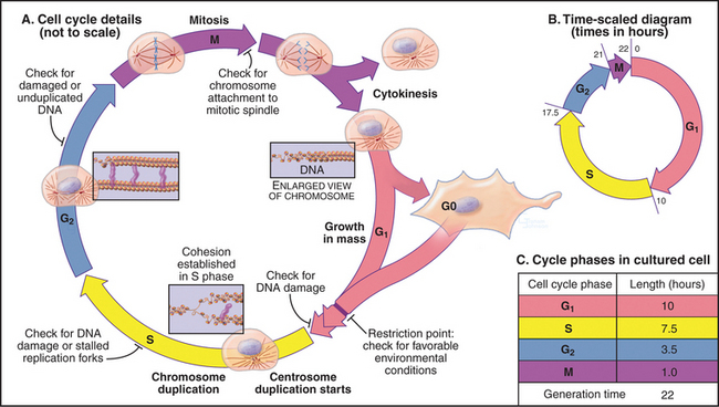Introduction to the cell cycle clinical gate figure 40 2 introduction to the cell cycle phases a diagrams of cellular morphology and chromosome structure across the cell cycle ccuart Image collections