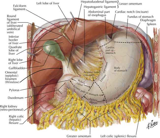 Normal anatomy and flow during the complete examination figure 10 4 stomach its anatomy and its relationship to liver and spleen netter illustration from netterimages elsevier inc all rights ccuart Choice Image