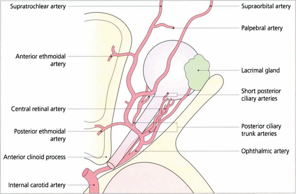 Old Fashioned Central Retinal Artery Anatomy Mold - Anatomy And ...