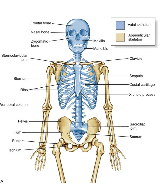 axial skeleton: osteology and arthrology | clinical gate, Skeleton
