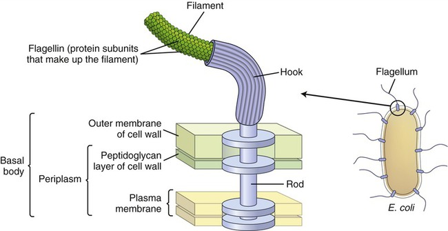 Image result for flagella structure