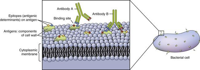 Antigenic determinant epitope