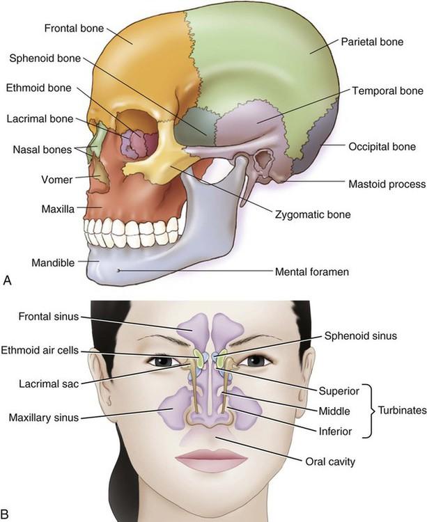 Facial Bone That Contains A Sinus 70