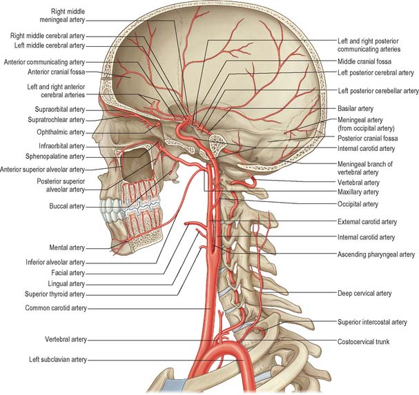 Head And Neck Overview And Surface Anatomy on brain arterial system