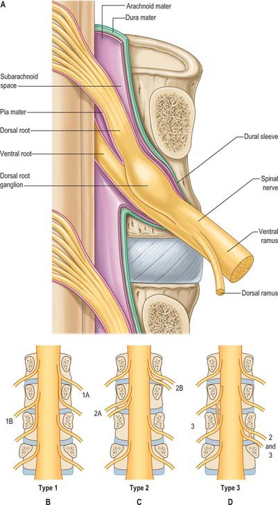 Spinal Cord And Spinal Nerves Gross Anatomy Clinical Gate