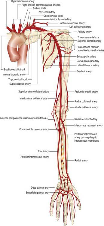 Pectoral Girdle And Upper Limb Overview And Surface Anatomy