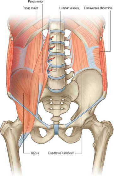 Posterior abdominal wall and retroperitoneum clinical gate 624 bones and deep muscles of the posterior abdominal wall left psoas major and the diaphragm have been removed ccuart Images