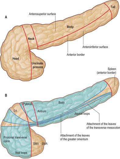 Uncinate process anatomy