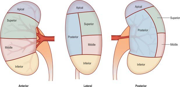 Kidney And Ureter Clinical Gate