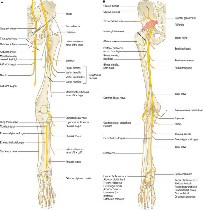 Appendicular Muscles Of The Pelvic Girdle And Lower Limbs Manual Guide