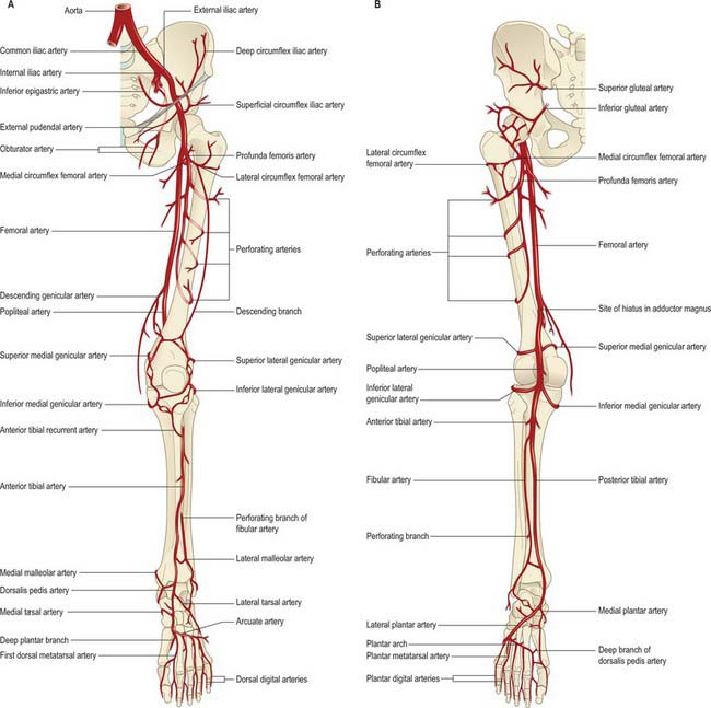 Vascular Anatomy Lower Limb 3830778 Follow4morefo