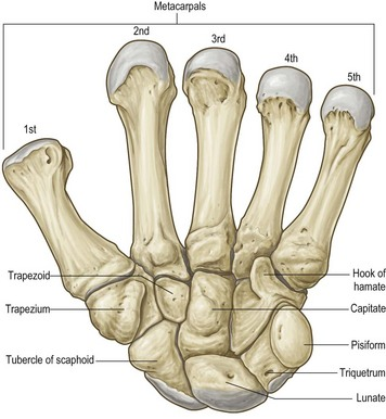 applied anatomy of the wrist, thumb and hand | clinical gate, Human Body