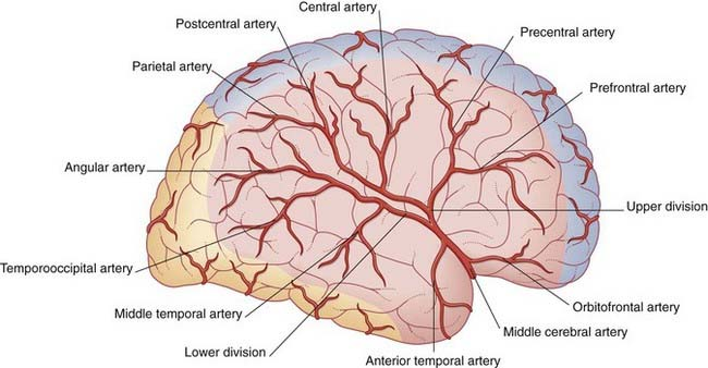 Image result for middle cerebral artery lateral