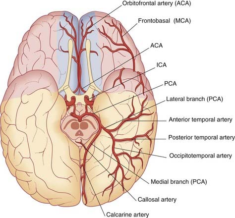 Blood supply of the brain clinical gate figure 55 view from below the cerebral hemispheres showing the cortical branches and territories of the three cerebral arteries aca mca pca anterior ccuart Gallery