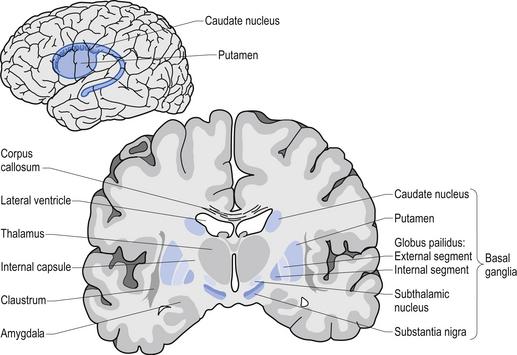 The basal ganglia | Clinical Gate