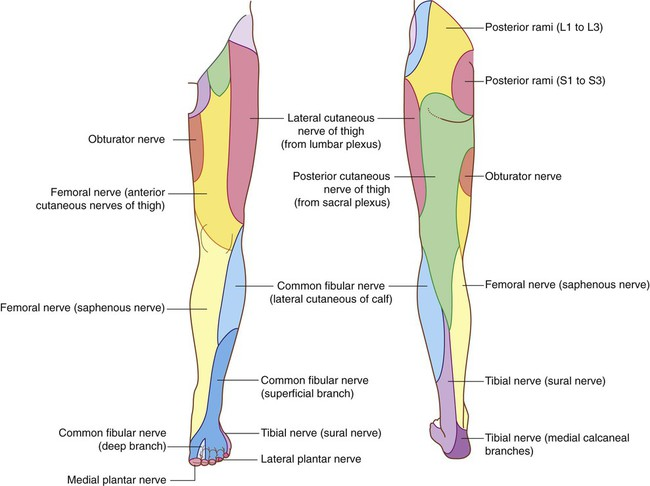 lower limb | clinical gate, Muscles