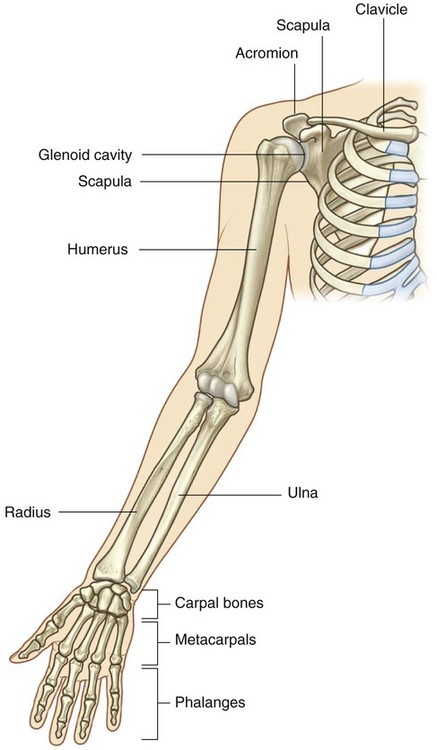 upper limb | clinical gate, Skeleton
