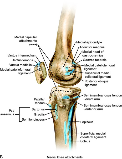 Medial and anterior knee anatomy clinical gate figure 1 3 a osseous landmarks of the knee medial view b soft tissue attachments to bone medial knee ccuart Gallery