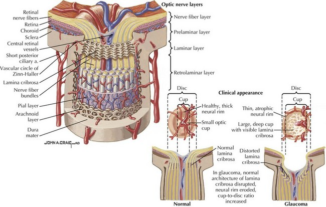 Anatomy of the optic nerve