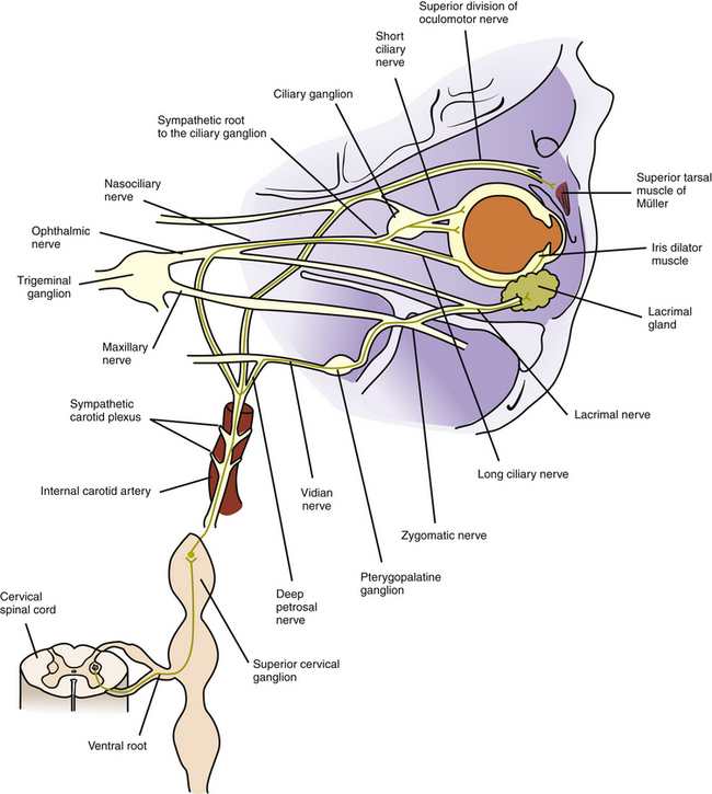 Autonomic Innervation of Ocular Structures | Clinical Gate