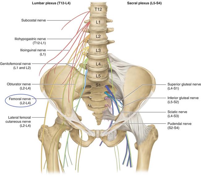 femoral nerve lumbar plexus – applecool, Muscles