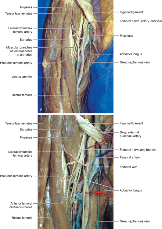 femoral nerve | clinical gate, Muscles