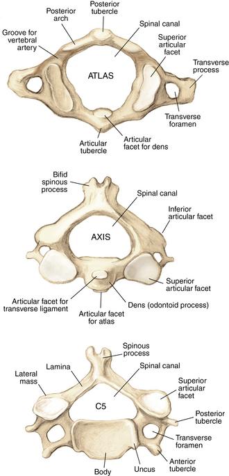 C1 vertebrae anatomy