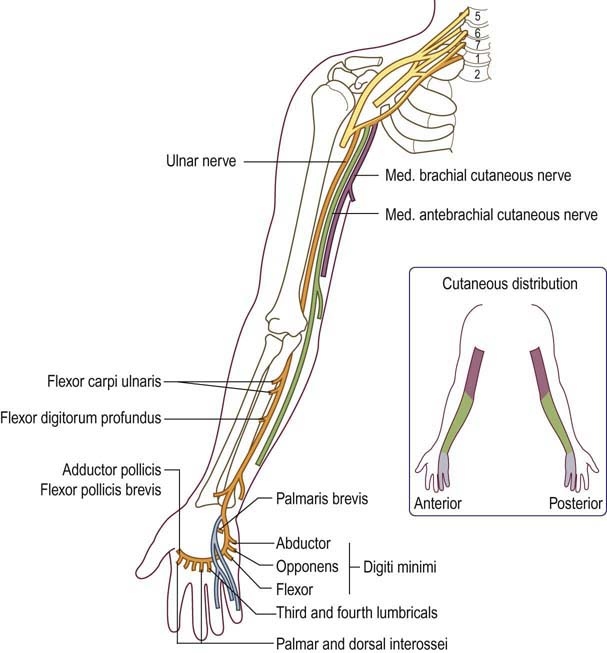 Ulnar Neuropathy At The Elbow Clinical Gate