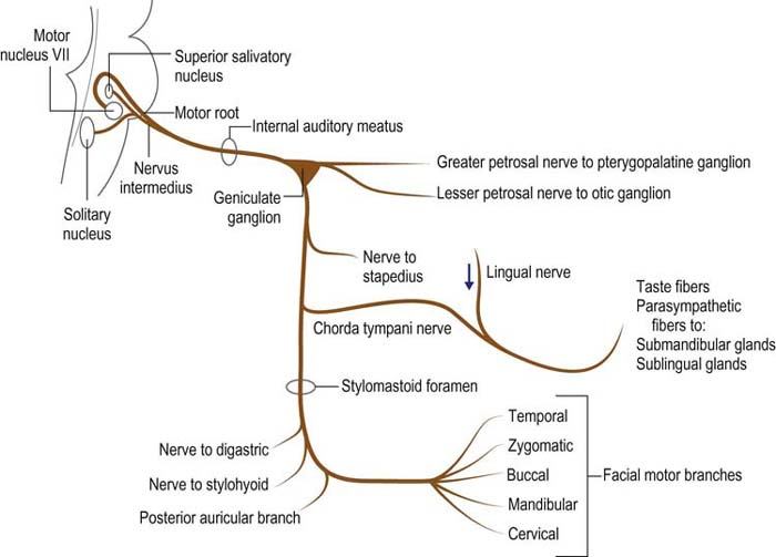 Image result for facial nerve course