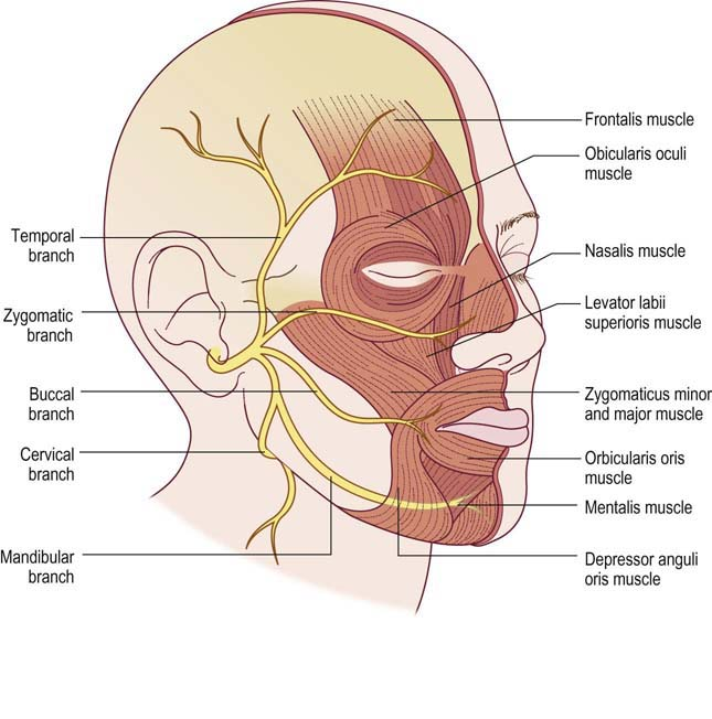 Branch facial nerve