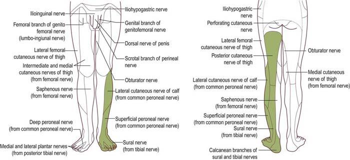 lumbosacral plexopathy | clinical gate, Muscles