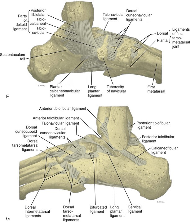 Ankle, Foot, and Lower Leg Ultrasound   Clinical Gate