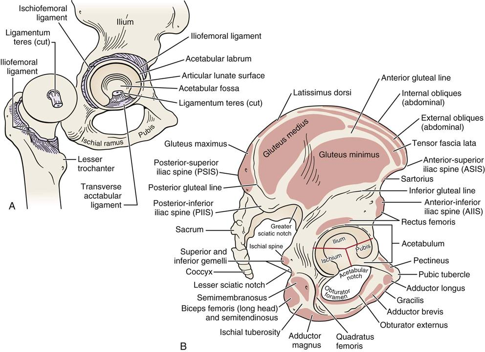 Hip | Clinical Gate