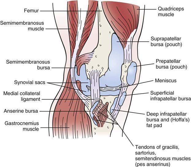 Pes Anserine Bursa Anatomy Image collections - human body anatomy