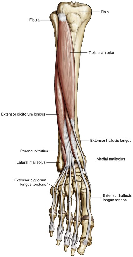 Foot and Ankle | Clinical Gate