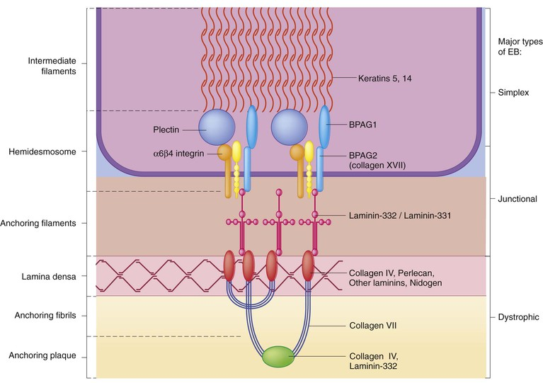 figure 11 1 many proteins interact to form the basement membrane zone