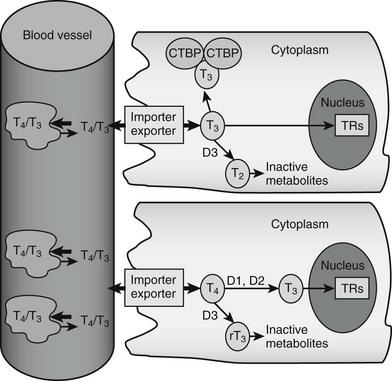 Mechanisms Of Thyroid Hormone Action Clinical Gate