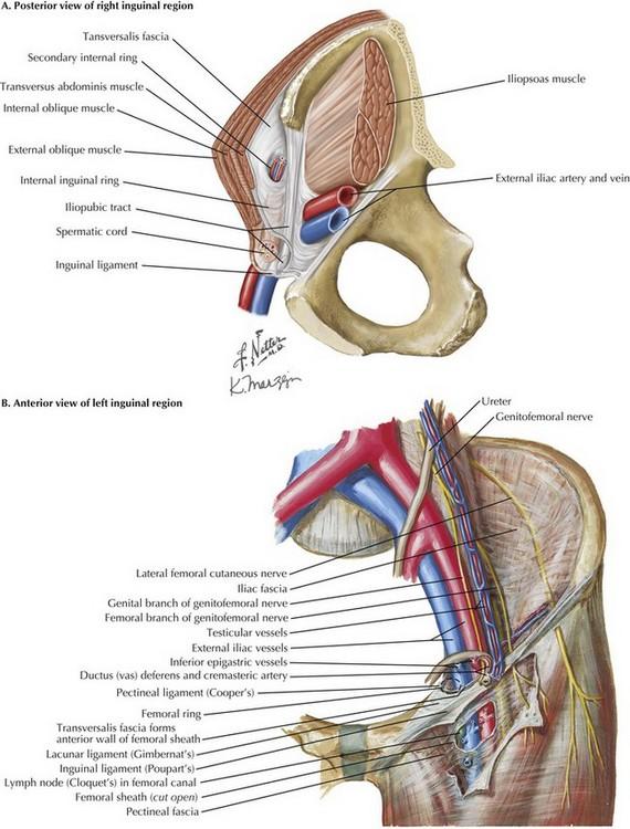 laparoscopic inguinal hernia repair | clinical gate, Muscles