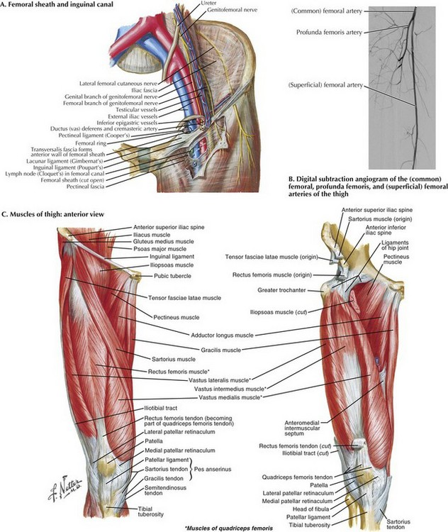 saphenofemoral exposure | clinical gate, Muscles