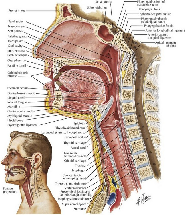 Tracheal Intubation and Endoscopic Anatomy | Clinical Gate