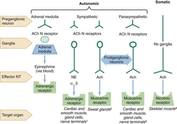 anticholinergics   clinical gate, Skeleton