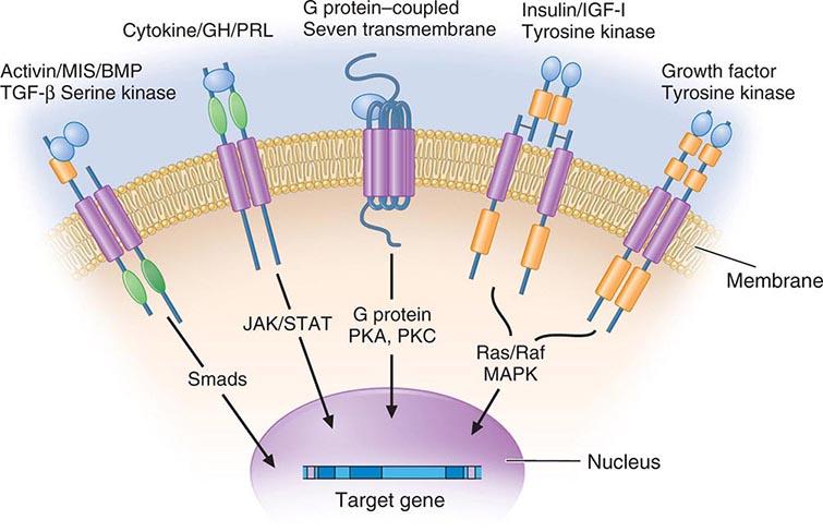 steroid hormone membrane receptor