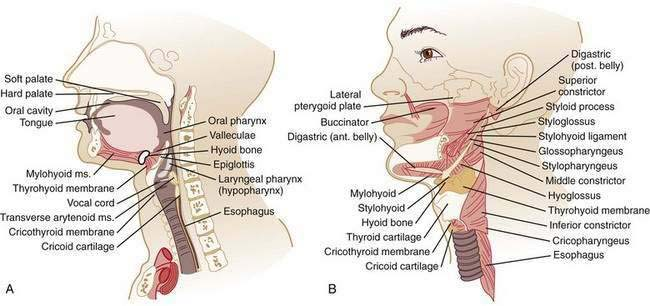 esophageal neuromuscular function and motility disorders, Human Body