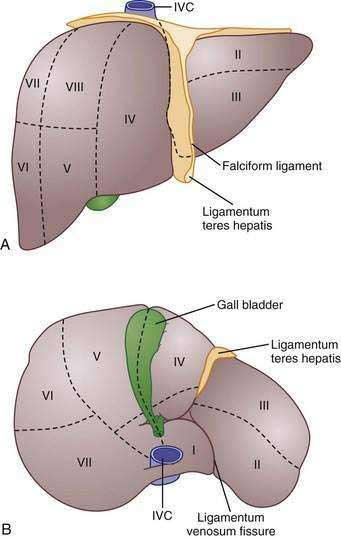 Anatomy of liver segments