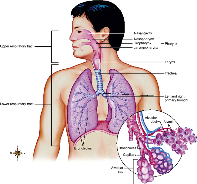 The Airways And Alveoli Clinical Gate