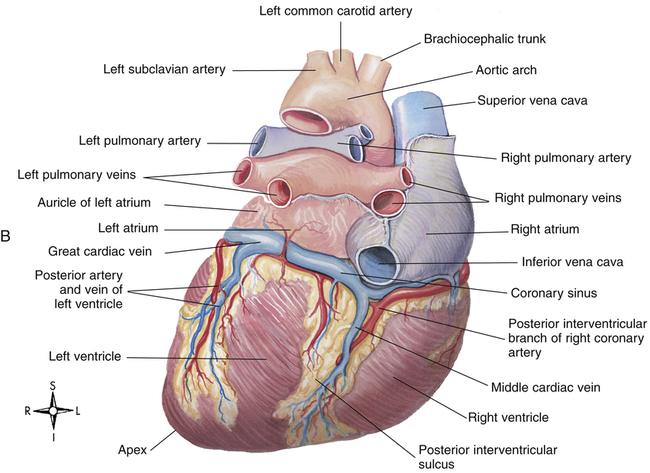 Functional Anatomy Of The Cardiovascular System Clinical Gate
