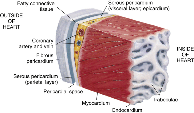 Functional anatomy of the cardiovascular system clinical gate image ccuart Image collections