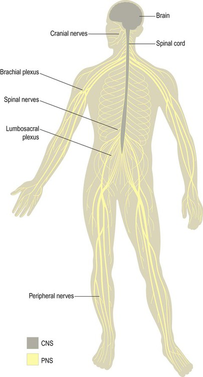 Overview Of The Nervous System Clinical Gate