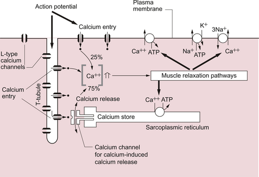 Cardiac Muscle Structure And Function Clinical Gate